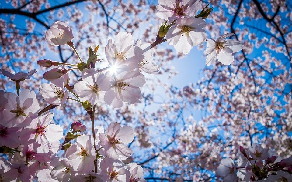 スマホで桜を綺麗に撮影する方法|おすすめのカメラアプリはコレ!