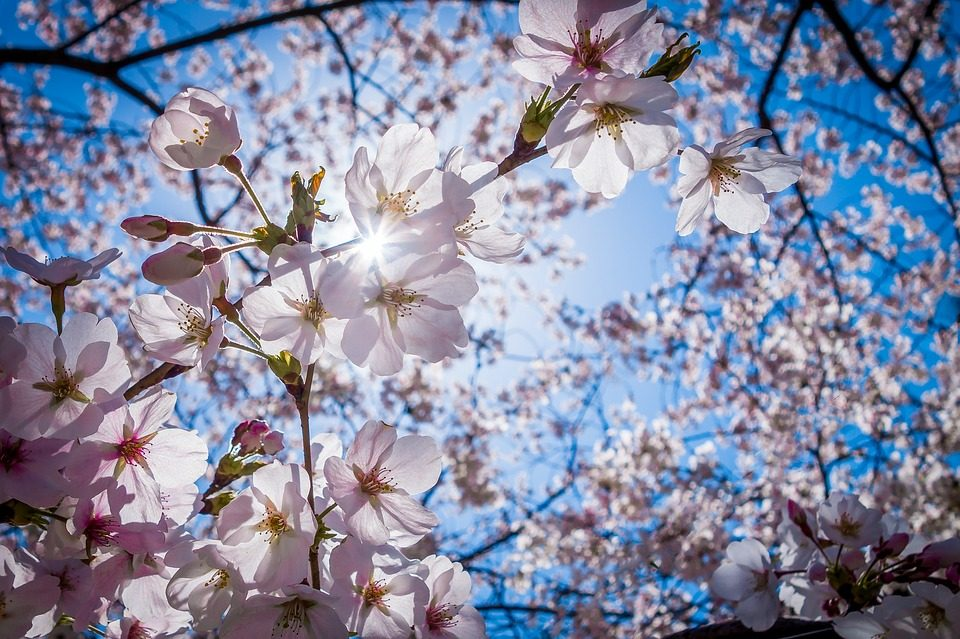 スマホで桜を綺麗に撮影する方法 おすすめのカメラアプリはコレ Bitwave