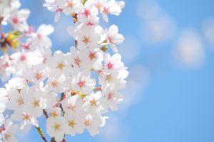 春 桜と青空